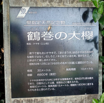 鶴巻の大欅.jpg